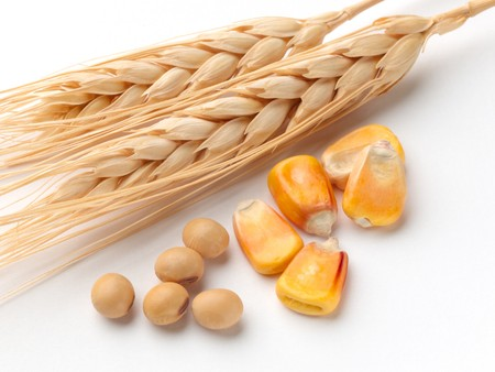 corn kernel: Close up of corn, wheat and soybeans shot on white background with soft shadow
