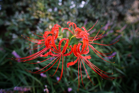 radiate: Bana Lycoris radiate