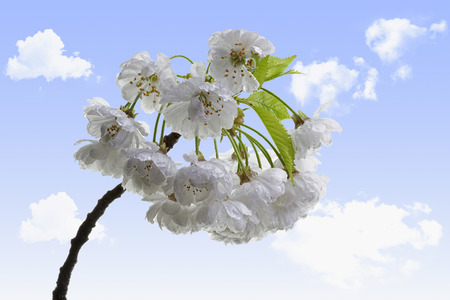 sour cherry blossoms with sky and clouds background photo