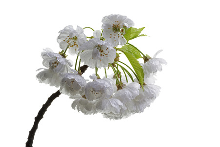 isolated sour cherry blossoms photo