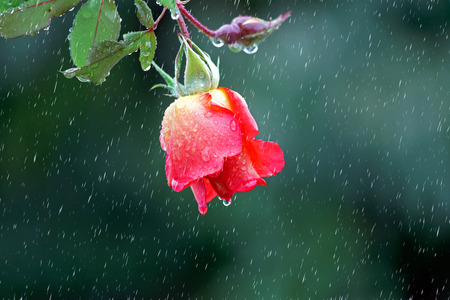 red rose hanging in the rain photo