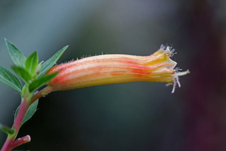 macro shot, large tubular flower of South African Erica Versicolor photo