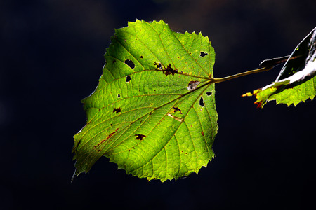 two autumn leaves with black background photo