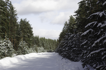 winter road: Forest Road in Winter. Winding Road in Coniferous Forest. Winter Landscape.