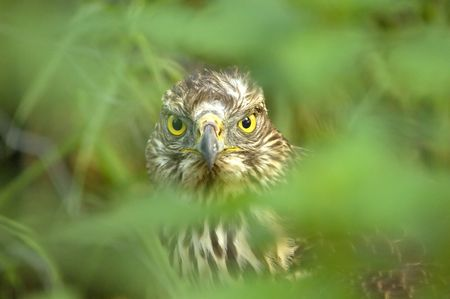 Portrait of a young Common Buzzard through dense foliage. Photo was capured in the wild photo