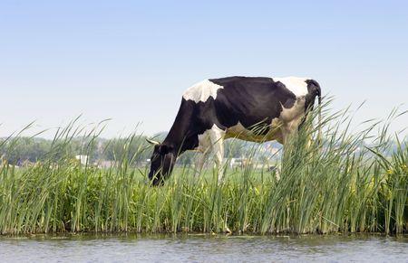 tortillera: Una vaca holandesa de pastoreo a lo largo de un chanal sobre un dique con una escena rural en el fondo