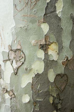 scarring: Un vicino della corteccia di un Platan con cuori intagliati in essa, cicatrici la superficie irregolare della pianta, rendendo l'amore tra le persone eternamente