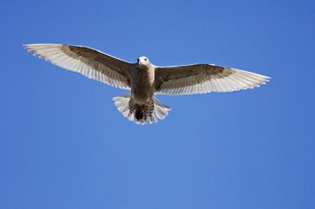 wingtips: A seagull soaring overhead on a clear day Stock Photo