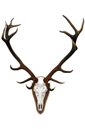 huge antlers: the imposing 15 point antlers of a huge stag, mounted on a wooden plate