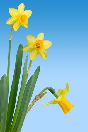 receptacle: An arrangement of daffodils (narcissus)