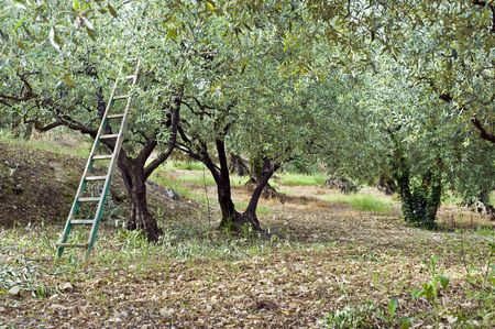 pruning: Pruning season in an olive orchard in the Vaucluse, South of France