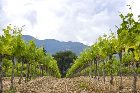 syrah: The neatly aligned grape vines in a vineyard in the Cote du Rhone, South of France,