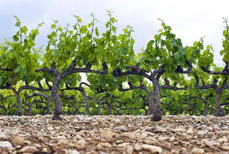 The neatly kept and gardened grape vines in a vineyard in the Cote du Rhone, South of France photo