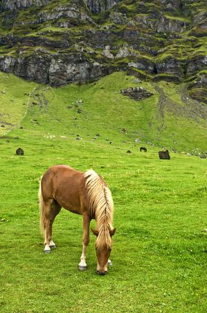 bloodstock: The Icelandic horse has been bred for centuries without the addition of outside bloodstock. They are pony sized.