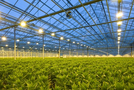 organised: A glasshouse growing endless rows of lilies at dusk