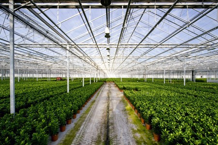 The endless rows of potted plants in a huge glasshouse