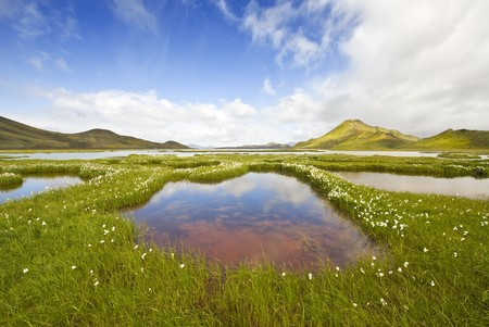 The marsh landscape with wildflowers in Landmannalaugar, Iceland photo