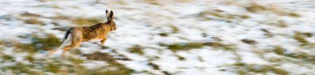 tortillera: Dique cubierta de nieve de liebre que ejecuta sobre un congelado y parcialmente