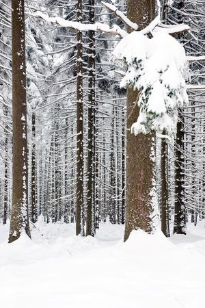 Winter forest in Czech Republic, with erect, straight trees and snow covered branches Stock Photo - 6269394