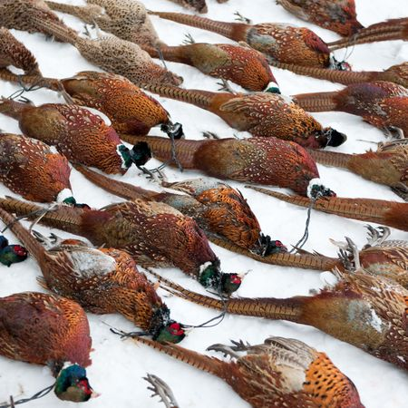 Dead Pheasants lined up on the snow after a hunting trip photo