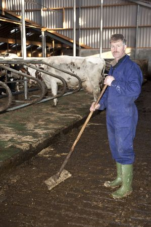 Farmer working to clean the floor in a stable, with live cattle - cows - in the background Stock Photo - 6397739
