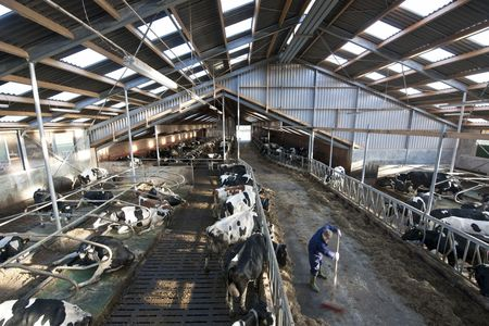 lingering: Modern stable intyerior, with manuy cows lingering about, light and spacious skylights and a farmer at work