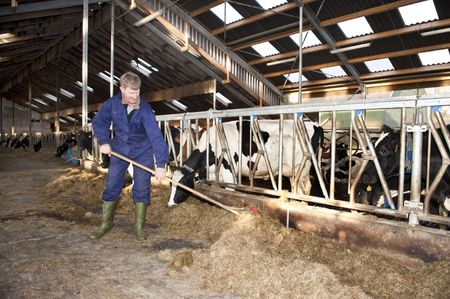 dairy cattle: Farmer cleaning a modern stable, while one of his cows is eating Stock Photo