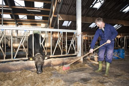 barn boots: Farmer cleaning a modern stable, while one of his cows is eating Stock Photo