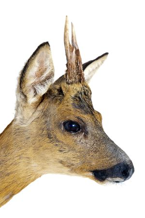 pointy: Portrait of a young roe deer, with small, pointy antlers Stock Photo