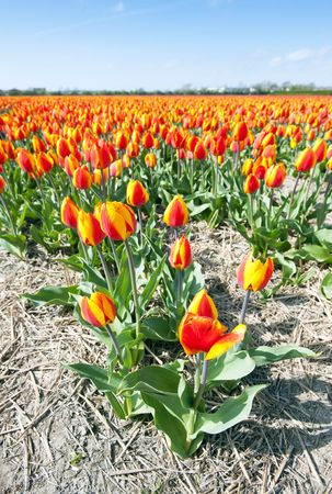 millions: Millions of red and yellow tulips in a flower bed near the Keukenhof, Netherlands