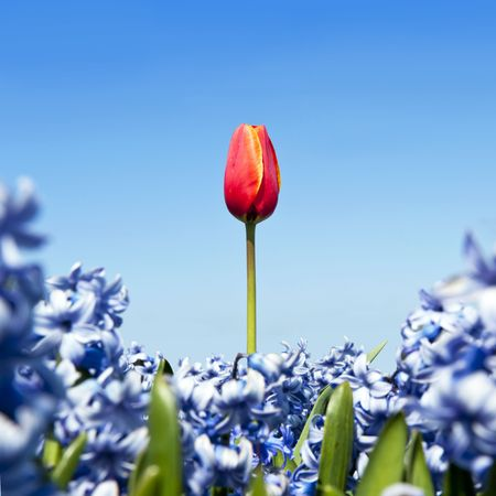 odd: A single red tulip in a field of blue hyacinths against a blue sky in spring, conceptual for  Stock Photo
