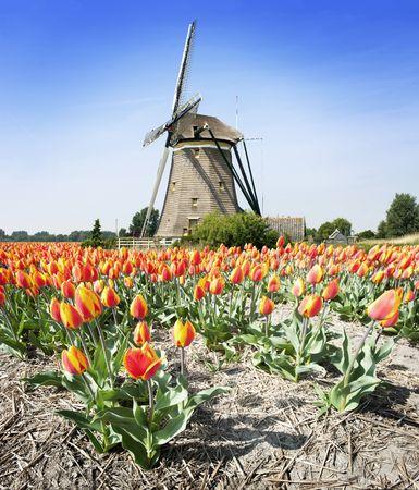 estereotipo: Estereotipo paisaje holand�s: un antiguo molino de viento y una flor de cama con Tulipanes  Foto de archivo