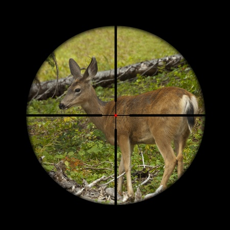 deer hunting: Young roe deer calf being targeted by a hunter with the crosshairs of the scope on his rifle Stock Photo