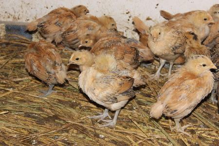 chicks: chicks Foto de archivo