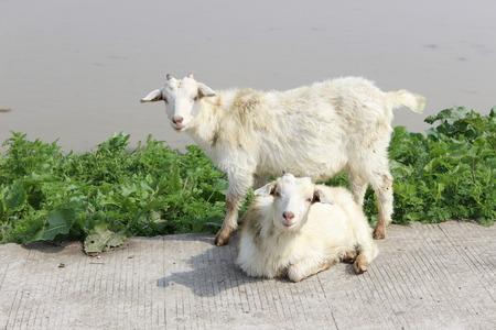 riverside: goats at the riverside