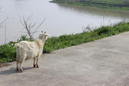 riverside: goat at the riverside