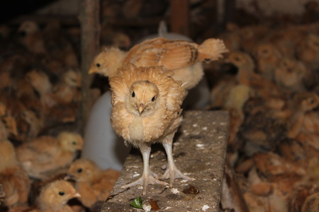 pollitos: polluelos