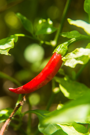 A red hot chilli hanging on the tree photo