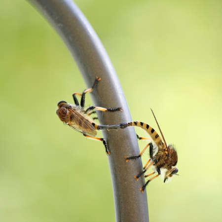 asilidae: Robber Fly Mating, Asilidae