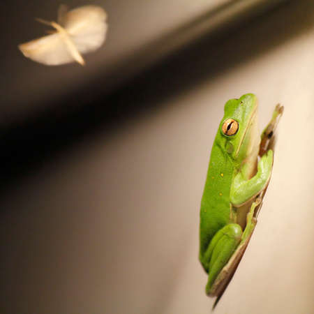 green tree frog: Green Tree Frog and Moth