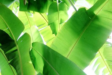 light green background: Banana Leaves