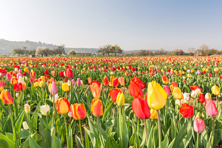 Field of colorful tulips in spring Stock Photo
