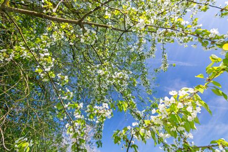 Beautiful white flowers on apple tree in spring in front of blue sky Фото со стока - 130977714