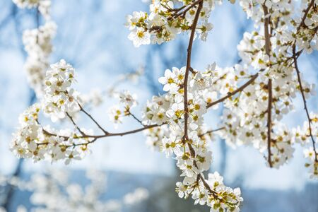 Closeup of beautiful white blossom on a tree branch in spring