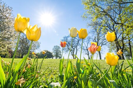Tulips on green meadow in spring in the sunlight Stock Photo