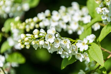 Closeup shot of white flowers on a tree branch