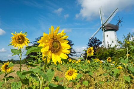 Sunflower field in front of historic windmill in Northern Germany