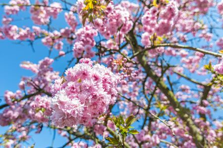 Beautiful pink flowers on a cherry tree in front of blue sky