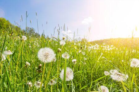 Idyllic flower meadow with blowball flowers, sunbeams and lens flare Фото со стока