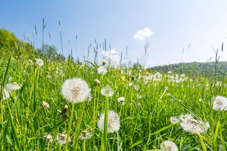 Idyllic flower meadow with blowball flowers in the summer Фото со стока
